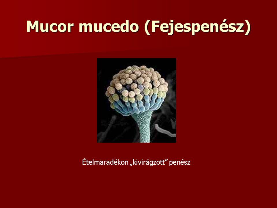 """Mucor mucedo (Fejespenész) Ételmaradékon """"kivirágzott penész"""