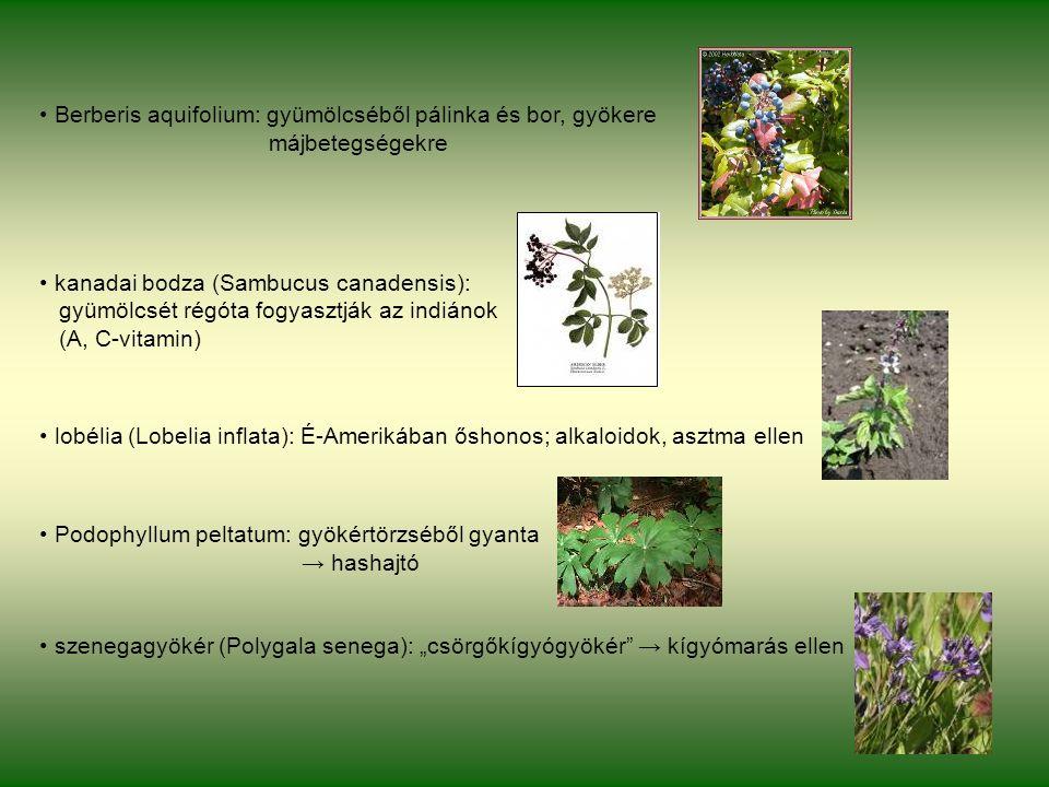 """Berberis aquifolium: gyümölcséből pálinka és bor, gyökere májbetegségekre kanadai bodza (Sambucus canadensis): gyümölcsét régóta fogyasztják az indiánok (A, C-vitamin) lobélia (Lobelia inflata): É-Amerikában őshonos; alkaloidok, asztma ellen Podophyllum peltatum: gyökértörzséből gyanta → hashajtó szenegagyökér (Polygala senega): """"csörgőkígyógyökér → kígyómarás ellen"""