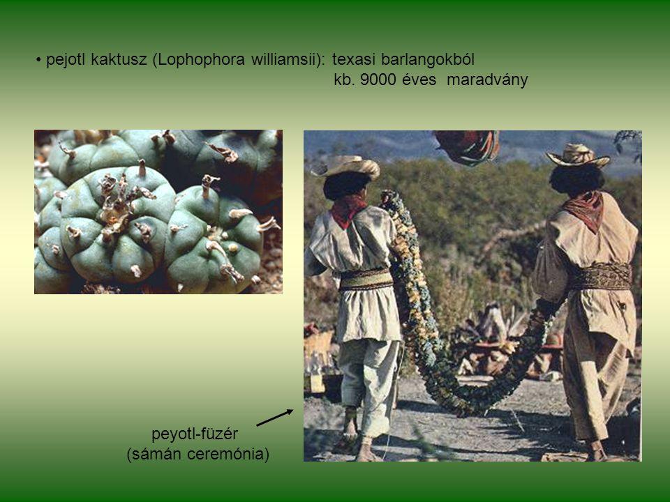 pejotl kaktusz (Lophophora williamsii): texasi barlangokból kb.