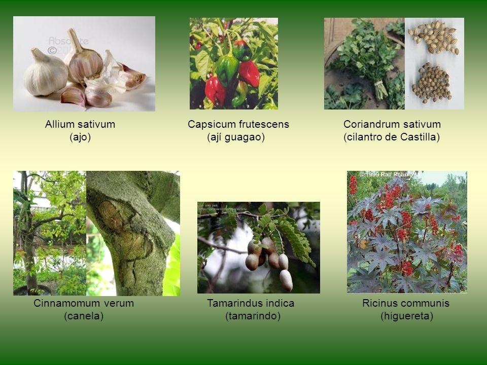 Allium sativum Capsicum frutescens Coriandrum sativum (ajo) (ají guagao) (cilantro de Castilla) Cinnamomum verum Tamarindus indica Ricinus communis (canela) (tamarindo) (higuereta)