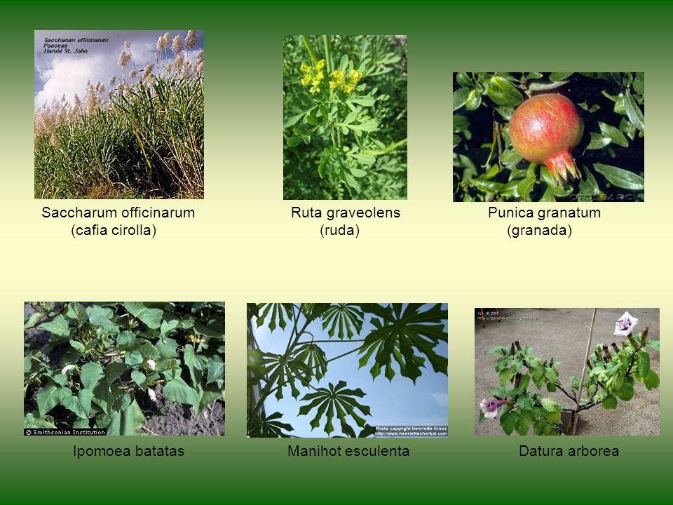 Saccharum officinarum Ruta graveolens Punica granatum (cafia cirolla) (ruda) (granada) Ipomoea batatas Manihot esculenta Datura arborea