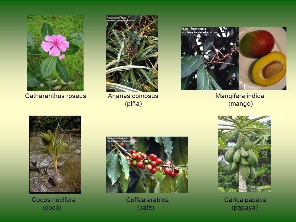 Catharanthus roseus Ananas comosus Mangifera indica (piña) (mango) Cocos nucifera Coffea arabica Carica papaya (coco) (café) (papaya)