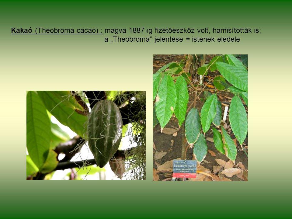 """Kakaó (Theobroma cacao) : magva 1887-ig fizetőeszköz volt, hamisították is; a """"Theobroma jelentése = istenek eledele"""
