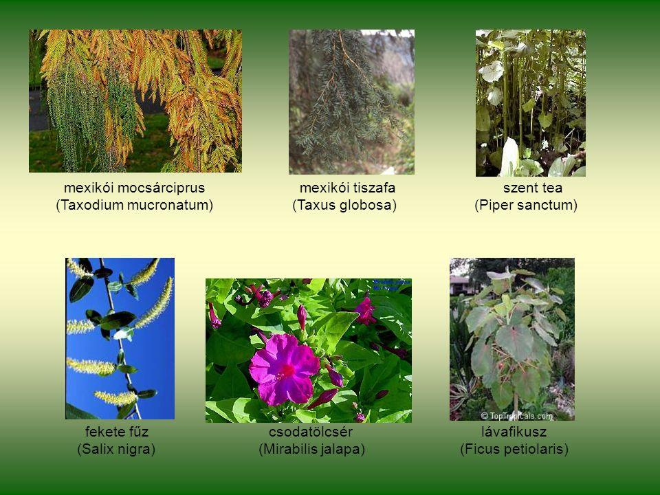 mexikói mocsárciprus mexikói tiszafa szent tea (Taxodium mucronatum) (Taxus globosa) (Piper sanctum) fekete fűz csodatölcsér lávafikusz (Salix nigra) (Mirabilis jalapa) (Ficus petiolaris)