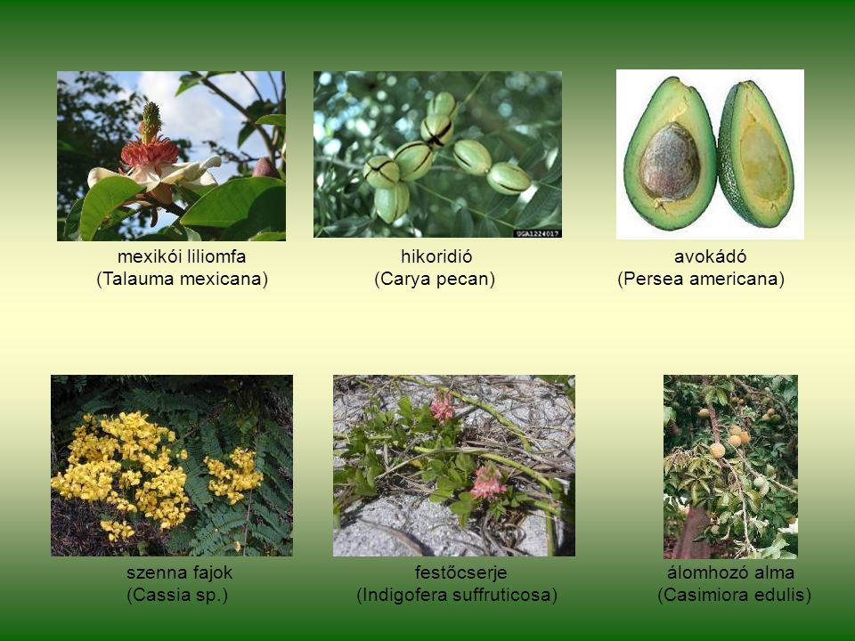 mexikói liliomfa hikoridió avokádó (Talauma mexicana) (Carya pecan) (Persea americana) szenna fajok festőcserje álomhozó alma (Cassia sp.) (Indigofera suffruticosa) (Casimiora edulis)