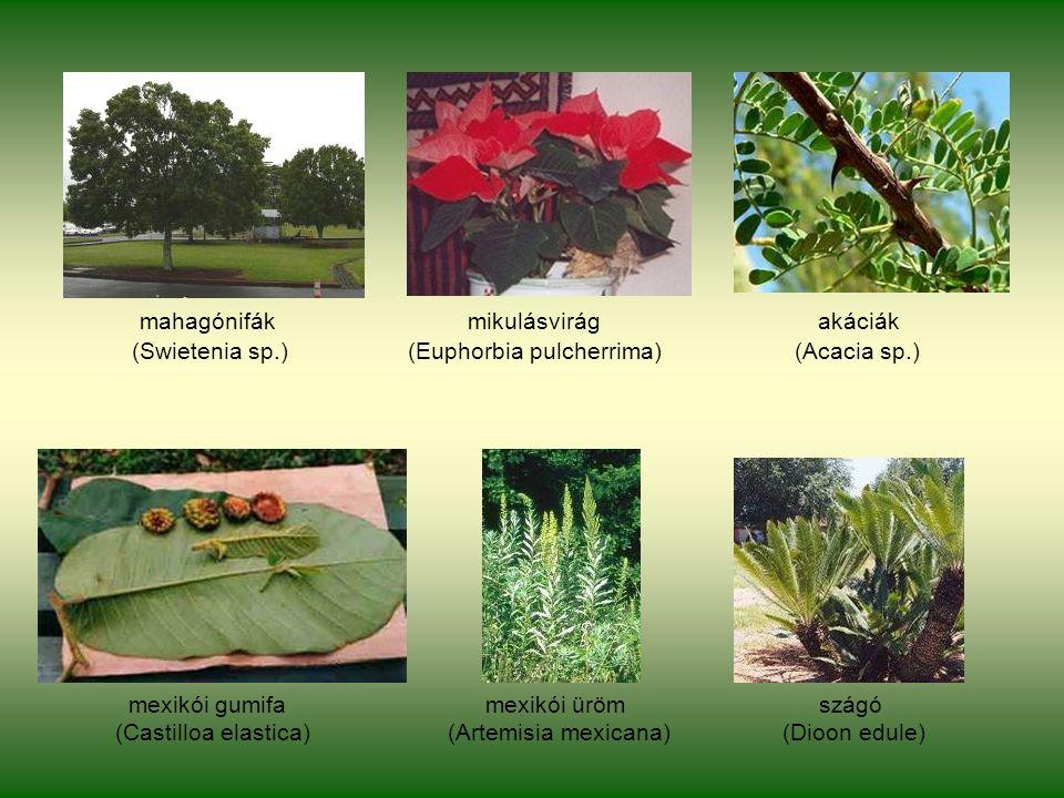 mahagónifák mikulásvirág akáciák (Swietenia sp.) (Euphorbia pulcherrima) (Acacia sp.) mexikói gumifa mexikói üröm szágó (Castilloa elastica) (Artemisia mexicana) (Dioon edule)