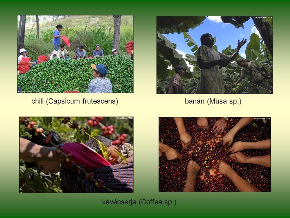 chili (Capsicum frutescens) banán (Musa sp.) kávécserje (Coffea sp.)