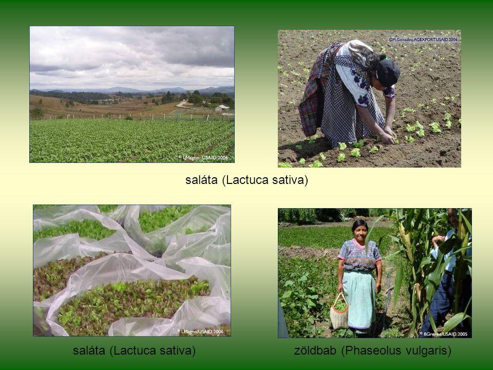 saláta (Lactuca sativa) zöldbab (Phaseolus vulgaris)saláta (Lactuca sativa)