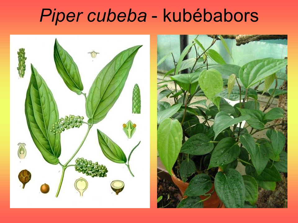 Piper cubeba - kubébabors