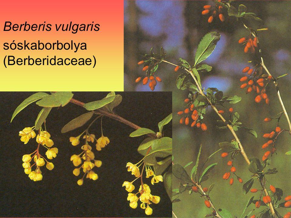 Berberis vulgaris sóskaborbolya (Berberidaceae)