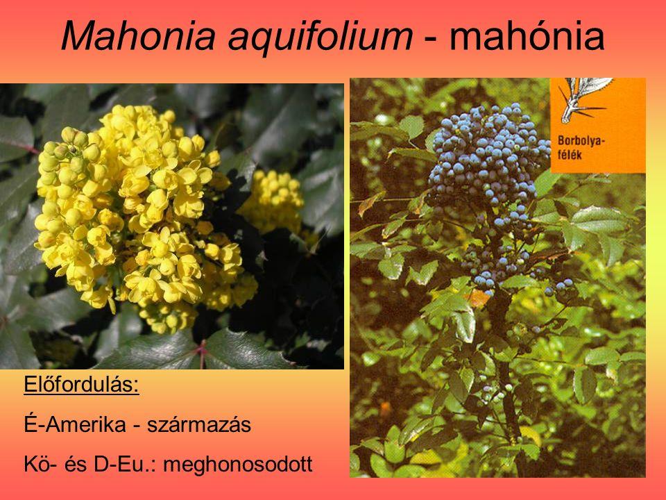 Mahonia aquifolium - mahónia Előfordulás: É-Amerika - származás Kö- és D-Eu.: meghonosodott
