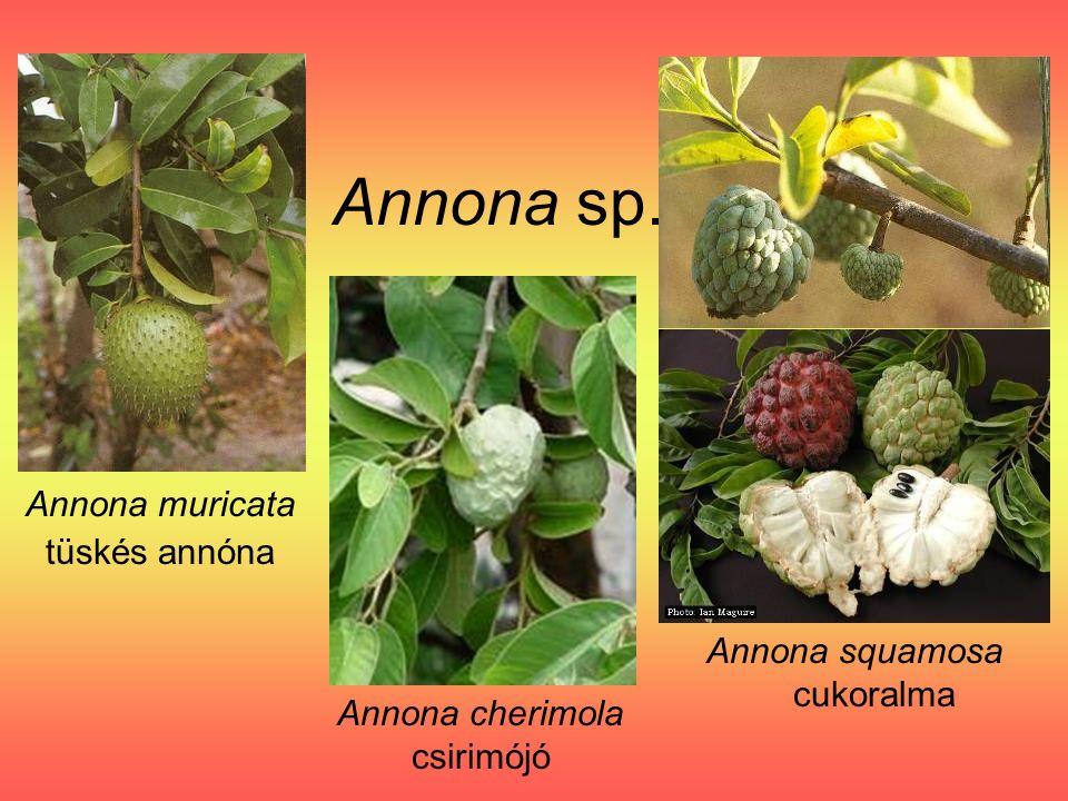 Annona sp. Annona muricata tüskés annóna Annona squamosa cukoralma Annona cherimola csirimójó