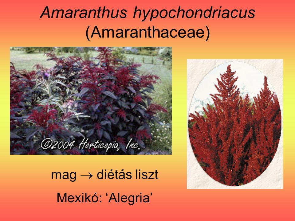 Amaranthus hypochondriacus (Amaranthaceae) mag  diétás liszt Mexikó: 'Alegria'