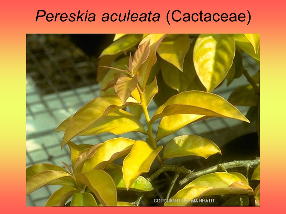 Pereskia aculeata (Cactaceae)