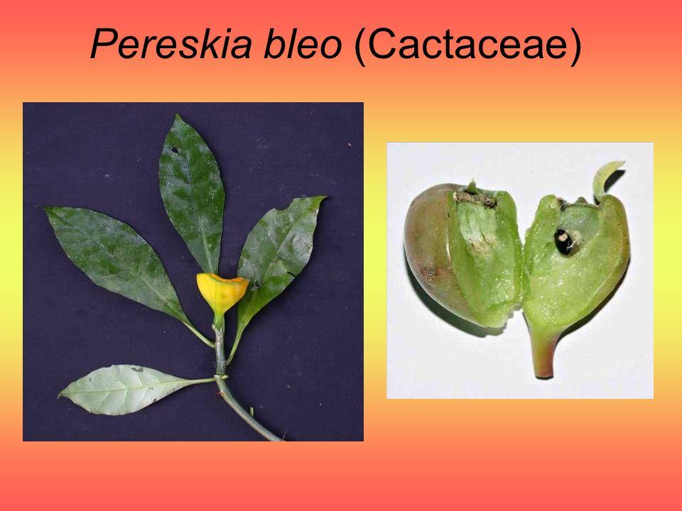 Pereskia bleo (Cactaceae)