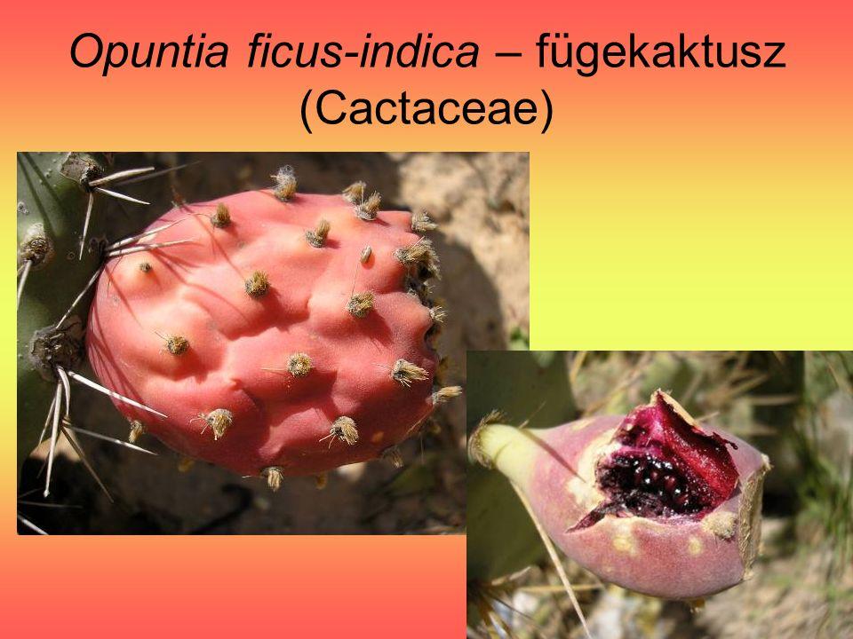 Opuntia ficus-indica – fügekaktusz (Cactaceae)