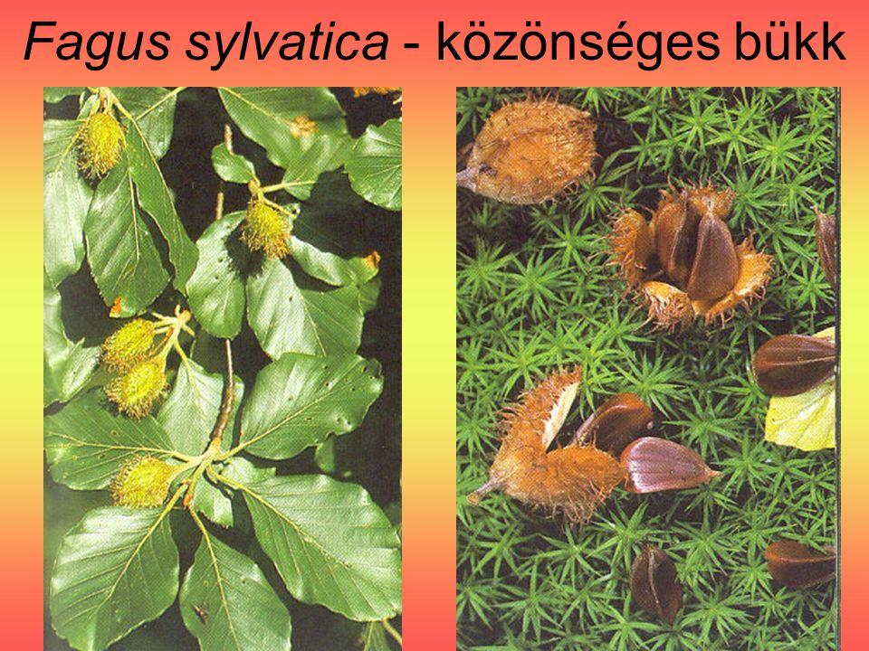 Fagus sylvatica - közönséges bükk