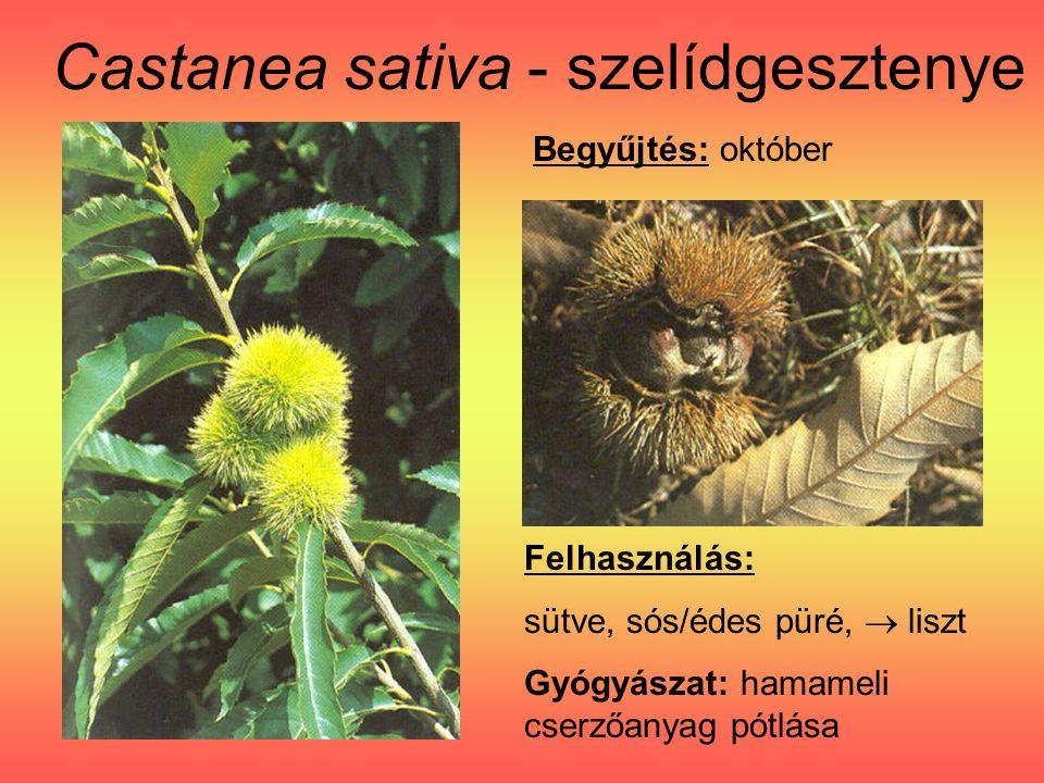Castanea sativa - szelídgesztenye Felhasználás: sütve, sós/édes püré,  liszt Gyógyászat: hamameli cserzőanyag pótlása Begyűjtés: október