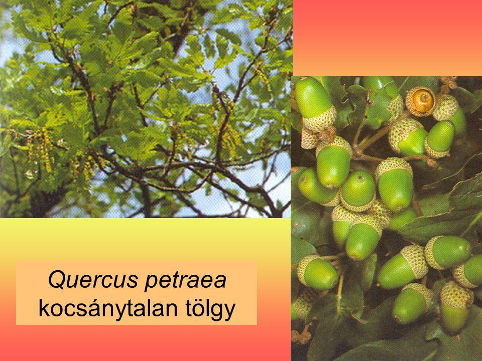 Quercus petraea kocsánytalan tölgy