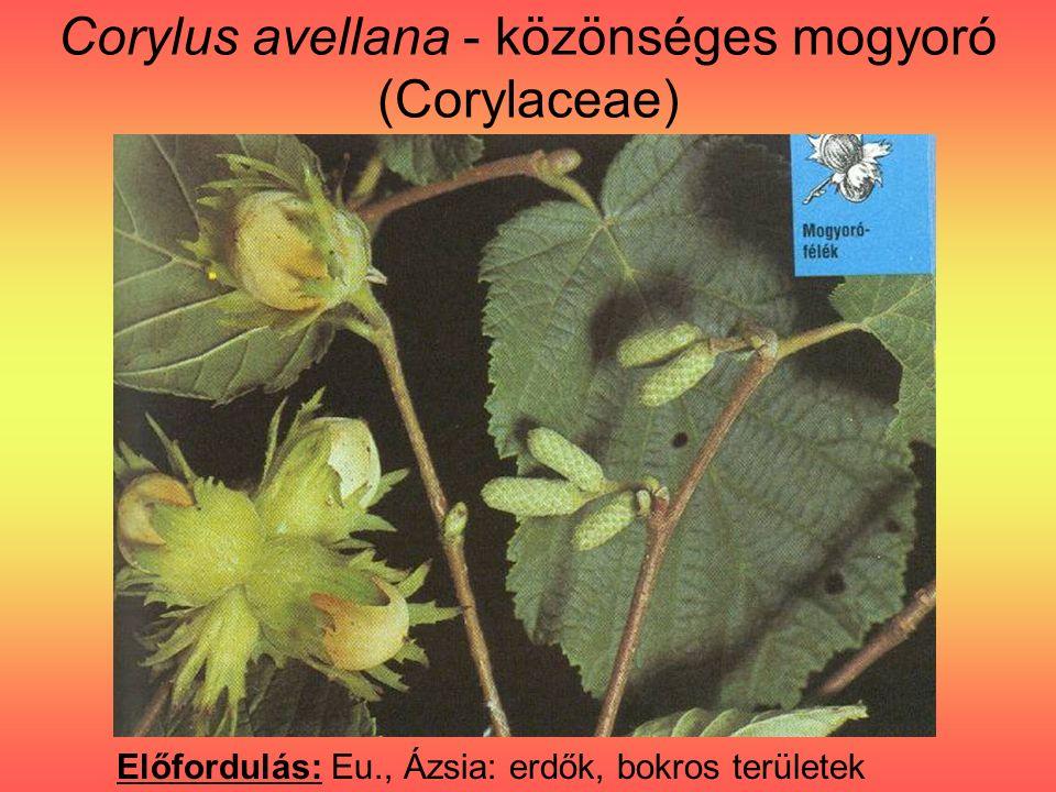 Corylus avellana - közönséges mogyoró (Corylaceae) Előfordulás: Eu., Ázsia: erdők, bokros területek