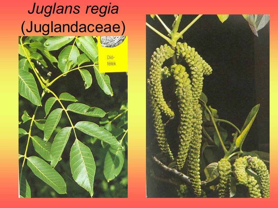 Juglans regia (Juglandaceae)
