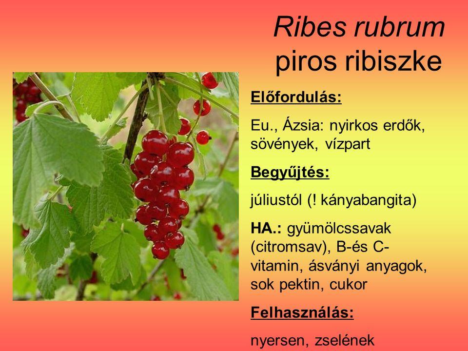Ribes rubrum piros ribiszke Előfordulás: Eu., Ázsia: nyirkos erdők, sövények, vízpart Begyűjtés: júliustól (.
