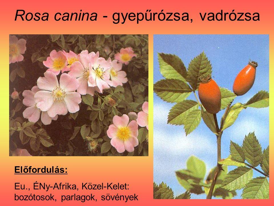 Rosa canina - gyepűrózsa, vadrózsa Előfordulás: Eu., ÉNy-Afrika, Közel-Kelet: bozótosok, parlagok, sövények