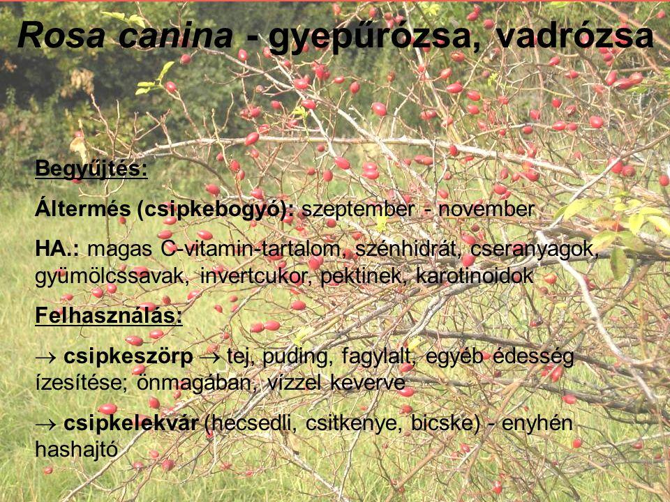 Rosa canina - gyepűrózsa, vadrózsa Begyűjtés: Áltermés (csipkebogyó): szeptember - november HA.: magas C-vitamin-tartalom, szénhidrát, cseranyagok, gyümölcssavak, invertcukor, pektinek, karotinoidok Felhasználás:  csipkeszörp  tej, puding, fagylalt, egyéb édesség ízesítése; önmagában, vízzel keverve  csipkelekvár (hecsedli, csitkenye, bicske) - enyhén hashajtó