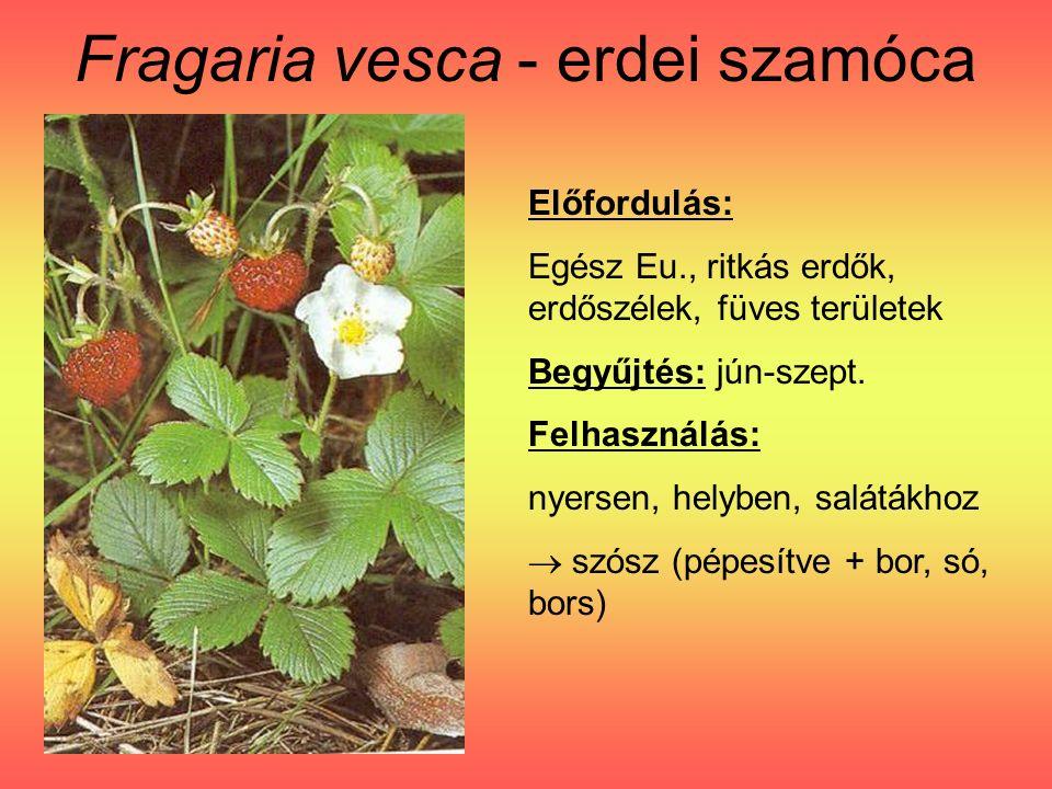Fragaria vesca - erdei szamóca Előfordulás: Egész Eu., ritkás erdők, erdőszélek, füves területek Begyűjtés: jún-szept.