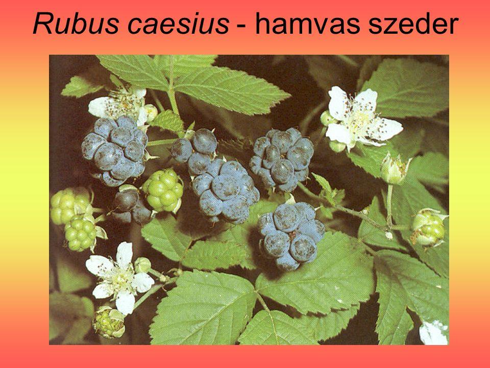 Rubus caesius - hamvas szeder