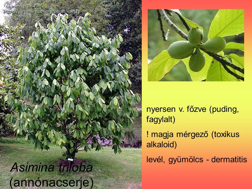 Miristica fragrans – szerecsendió (Miristicaceae) mag: szerecsendió magköpeny (arillus): szerecsendió-virág (mácisz) Nagy mennyiség: rosszullét, fejfájás, egyensúlyzavar, kábultság (miriszticin, elemicin, szafrol)