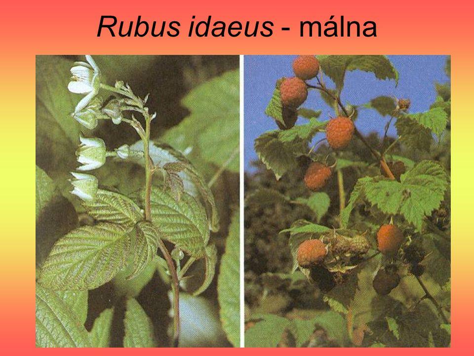 Rubus idaeus - málna