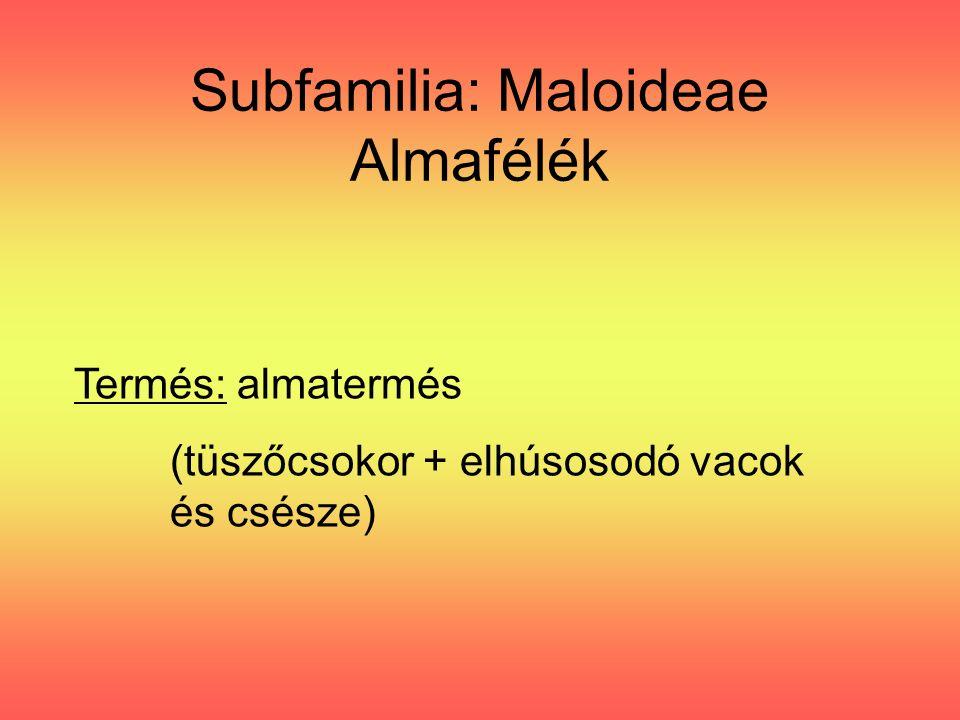 Subfamilia: Maloideae Almafélék Termés: almatermés (tüszőcsokor + elhúsosodó vacok és csésze)