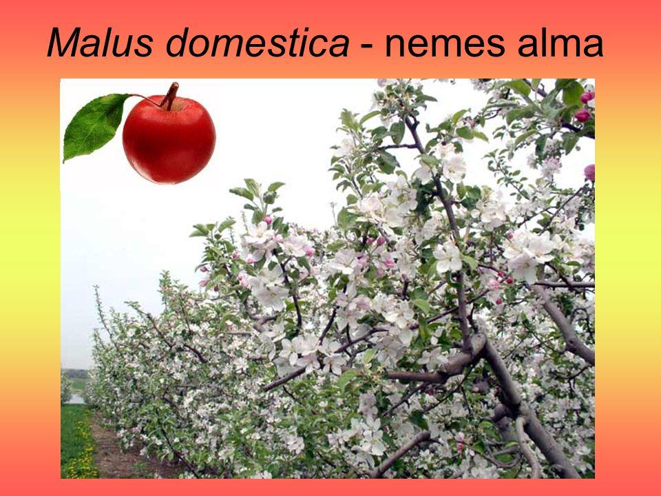 Malus domestica - nemes alma