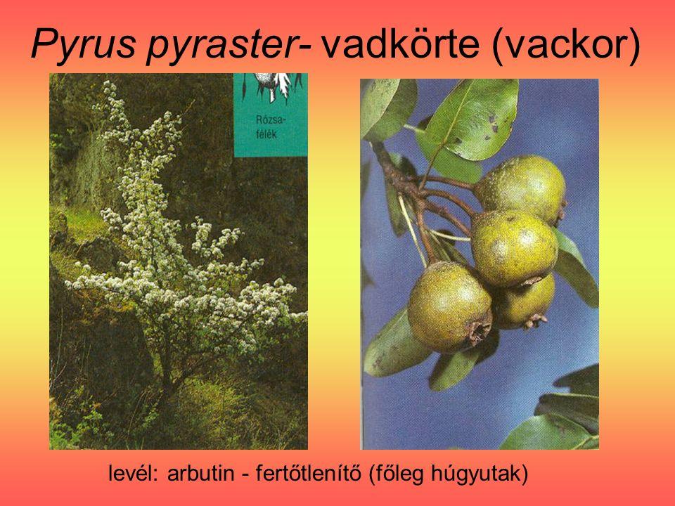Pyrus pyraster- vadkörte (vackor) levél: arbutin - fertőtlenítő (főleg húgyutak)