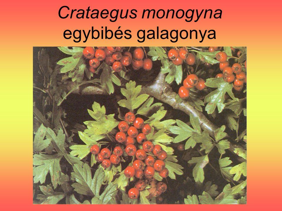 Crataegus monogyna egybibés galagonya