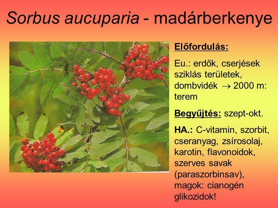 Sorbus aucuparia - madárberkenye Előfordulás: Eu.: erdők, cserjések sziklás területek, dombvidék  2000 m: terem Begyűjtés: szept-okt.