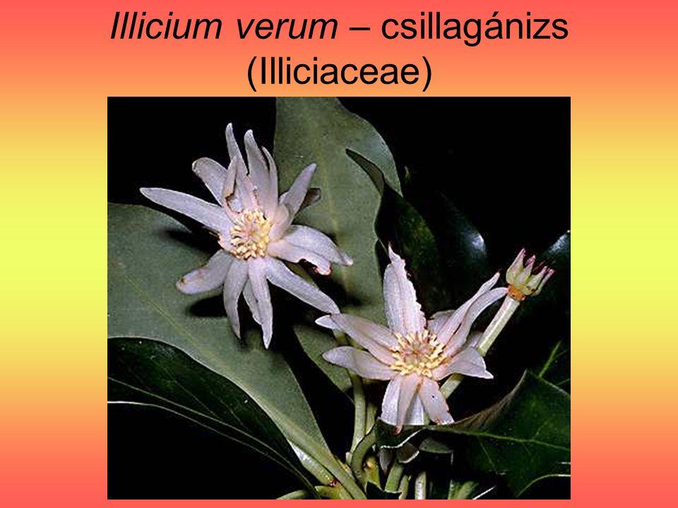Illicium verum - csillagánizs tüsző terméscsoport I.