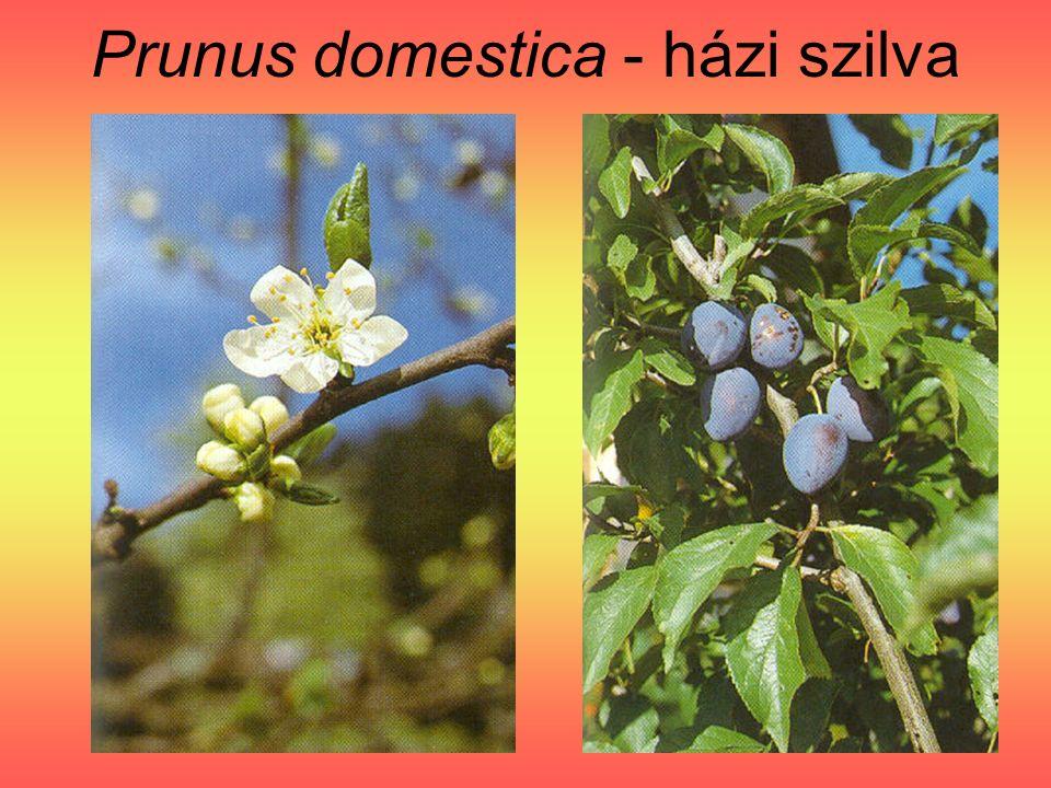 Prunus domestica - házi szilva