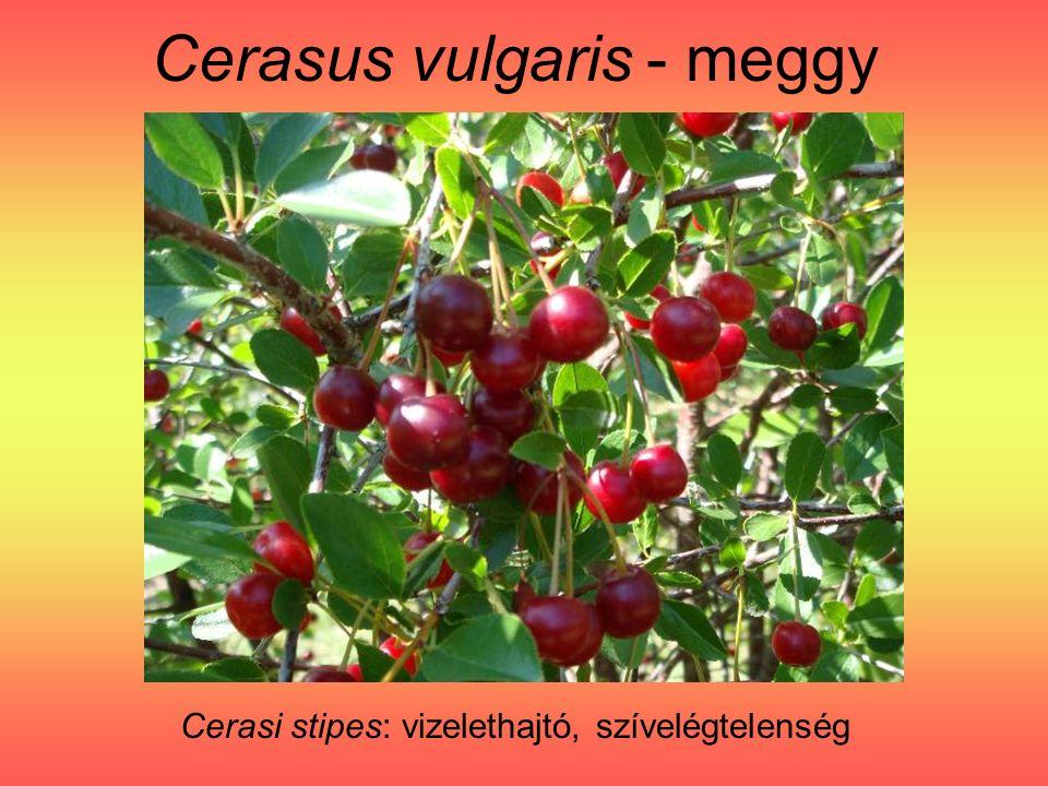 Cerasus vulgaris - meggy Cerasi stipes: vizelethajtó, szívelégtelenség