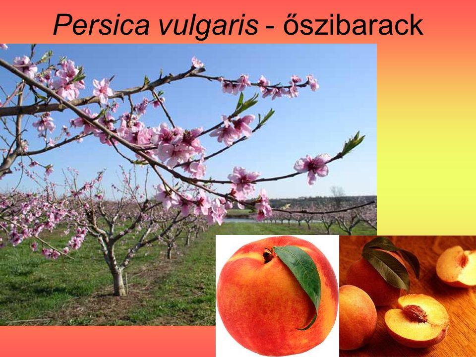 Persica vulgaris - őszibarack