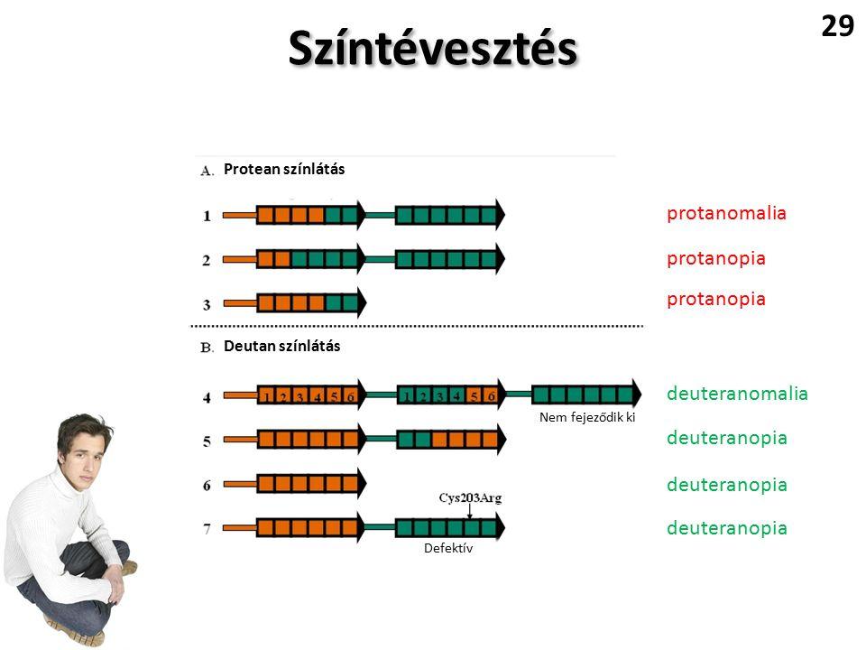 Színtévesztés 29 Nem fejeződik ki Defektív Protean színlátás Deutan színlátás protanomalia protanopia deuteranopia deuteranomalia
