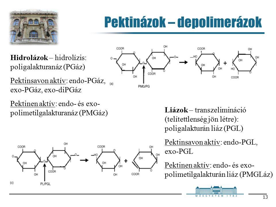 13 Pektinázok – depolimerázok Hidrolázok – hidrolízis: poligalakturanáz (PGáz) Pektinsavon aktív: endo-PGáz, exo-PGáz, exo-diPGáz Pektinen aktív: endo- és exo- polimetilgalakturanáz (PMGáz) Liázok – transzelimináció (telítettlenség jön létre): poligalakturán liáz (PGL) Pektinsavon aktív: endo-PGL, exo-PGL Pektinen aktív: endo- és exo- polimetilgalakturán liáz (PMGLáz)