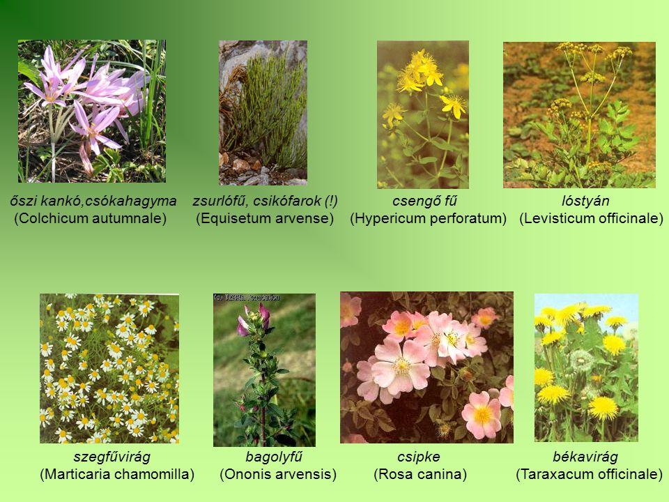 őszi kankó,csókahagyma zsurlófű, csikófarok (!) csengő fű lóstyán (Colchicum autumnale) (Equisetum arvense) (Hypericum perforatum) (Levisticum officin