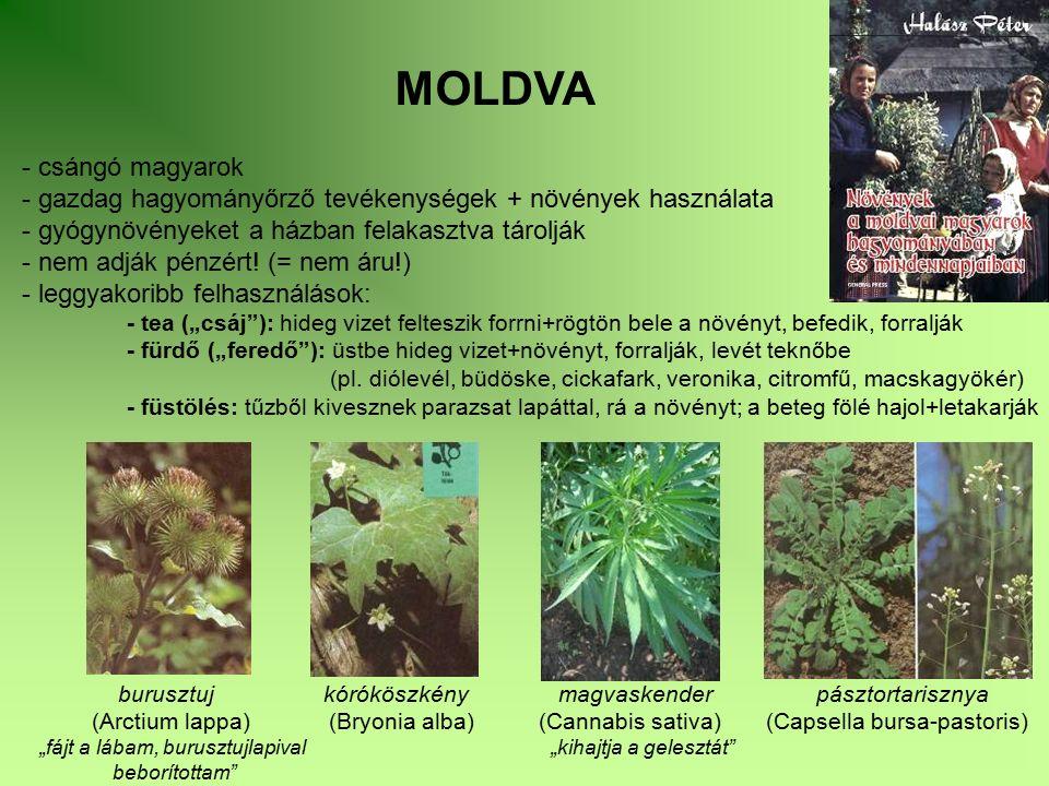 MOLDVA - csángó magyarok - gazdag hagyományőrző tevékenységek + növények használata - gyógynövényeket a házban felakasztva tárolják - nem adják pénzér
