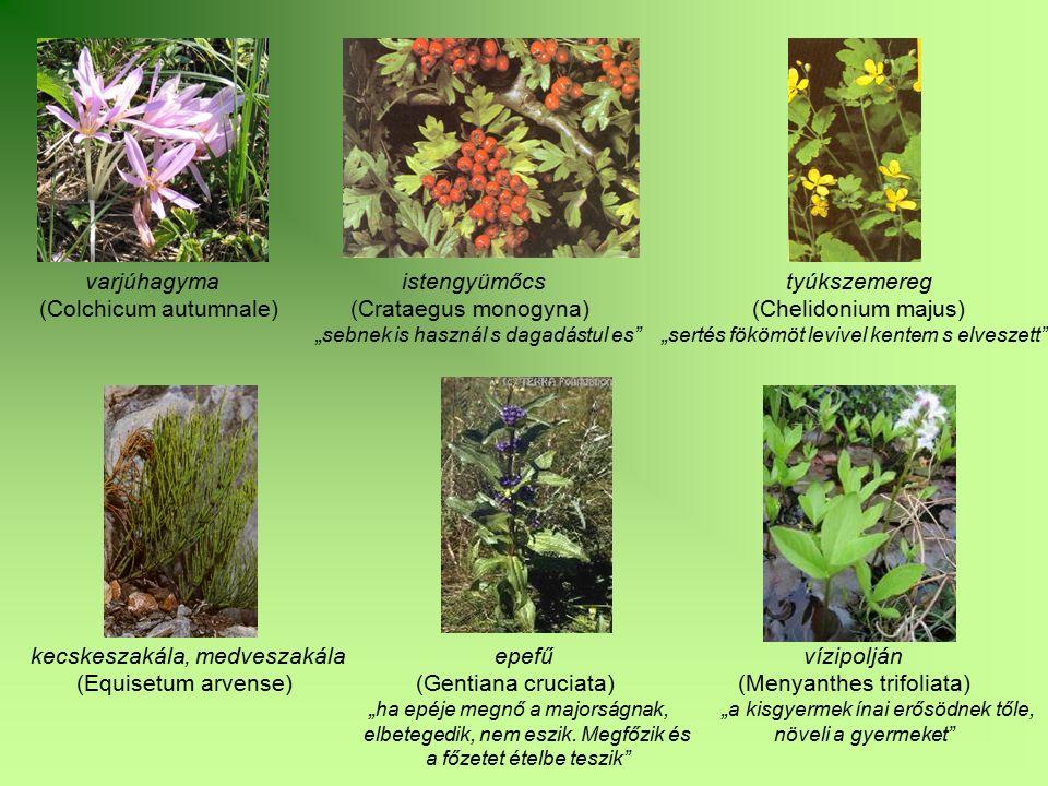 """varjúhagyma istengyümőcs tyúkszemereg (Colchicum autumnale) (Crataegus monogyna) (Chelidonium majus) """"sebnek is használ s dagadástul es"""" """"sertés fököm"""