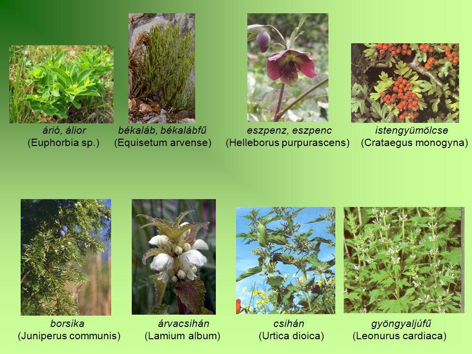 árió, álior békaláb, békalábfű eszpenz, eszpenc istengyümölcse (Euphorbia sp.) (Equisetum arvense) (Helleborus purpurascens) (Crataegus monogyna) bors