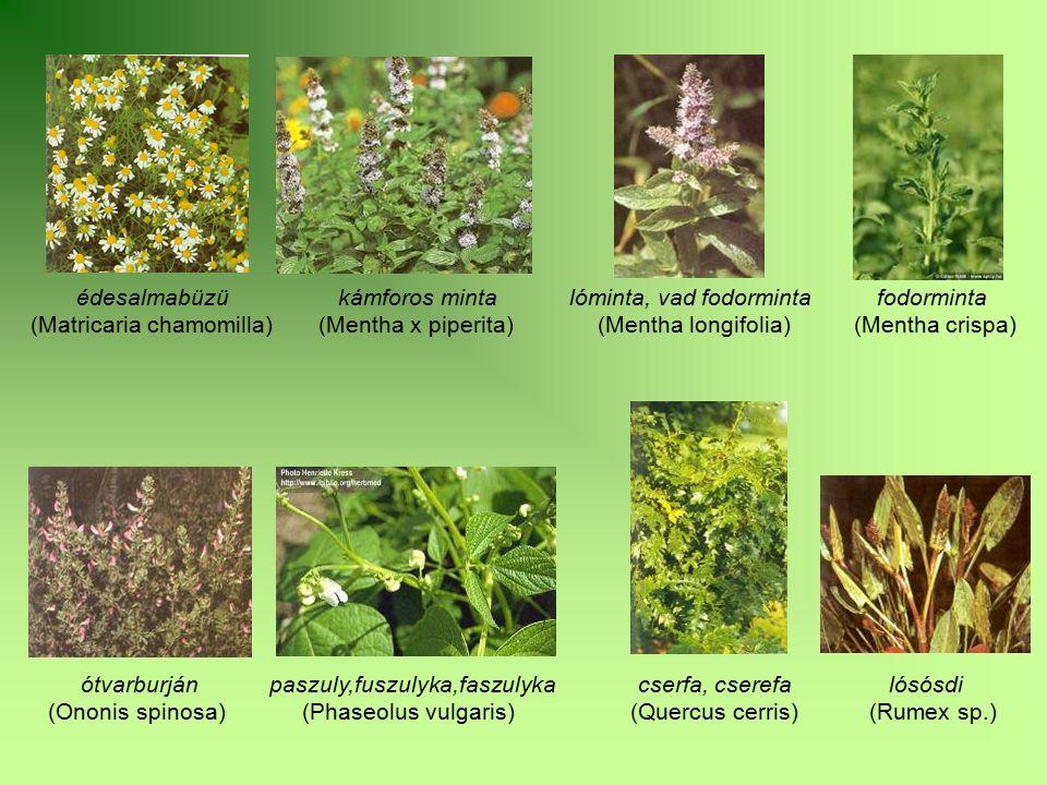 édesalmabüzü kámforos minta lóminta, vad fodorminta fodorminta (Matricaria chamomilla) (Mentha x piperita) (Mentha longifolia) (Mentha crispa) ótvarbu
