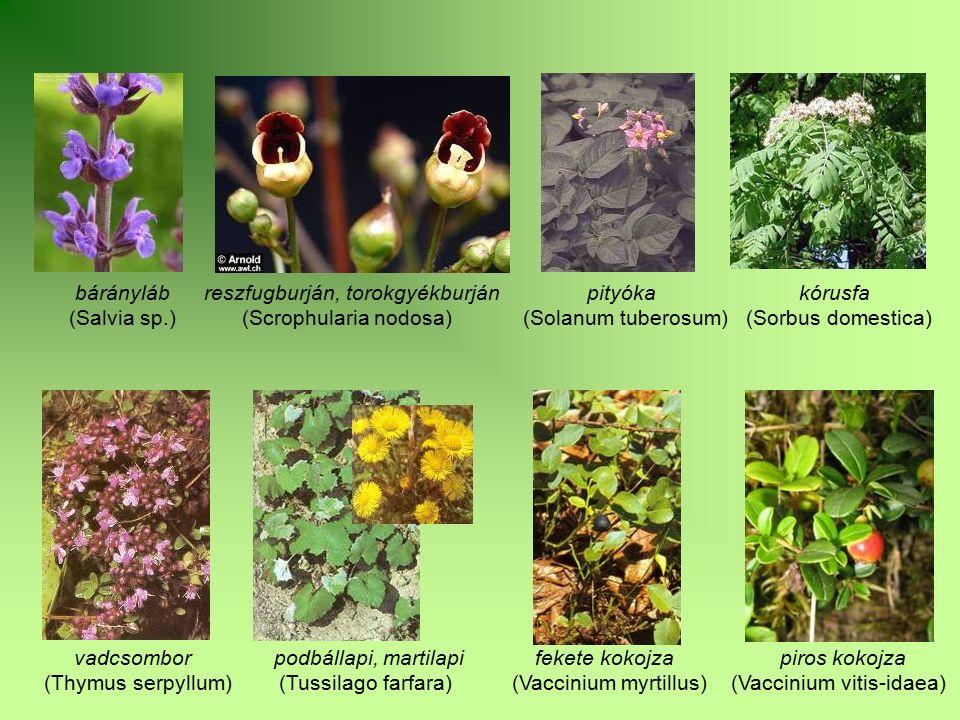 bárányláb reszfugburján, torokgyékburján pityóka kórusfa (Salvia sp.) (Scrophularia nodosa) (Solanum tuberosum) (Sorbus domestica) vadcsombor podbálla