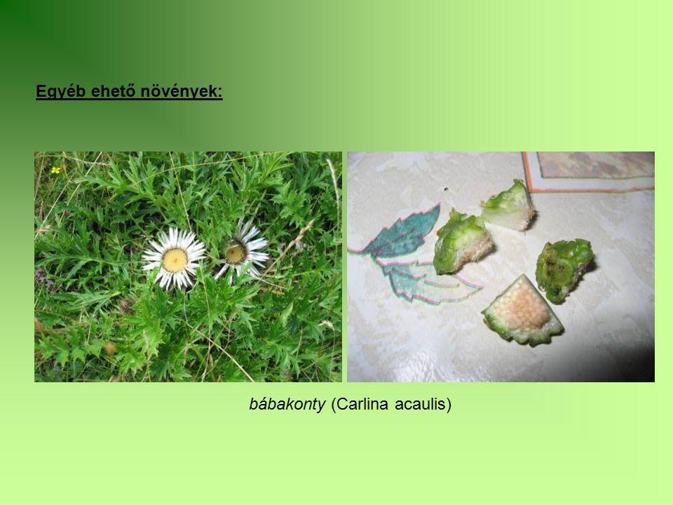 Egyéb ehető növények: bábakonty (Carlina acaulis)